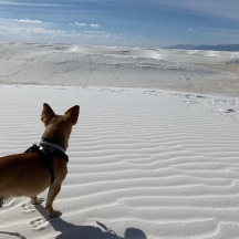 White Sands Chihuahua